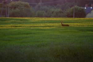 Roe deer at sunset by mv79