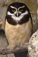 Spectacled Owl by akadime