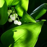 Lilly of the Valley by AniMal-e