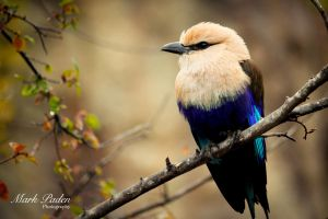 Blue belied Roller by thephotographicgenus
