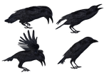 Crows 2 PNG Stock by Roys-Art