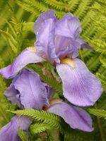 Iris and Fern Entwined by papatheo