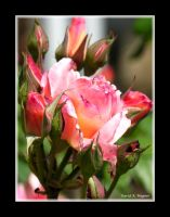 Roses in Bloom 2 by David-A-Wagner