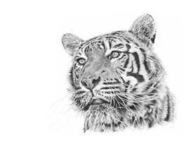 Tiger by etcus
