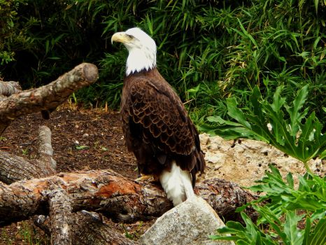 San Antonio Zoo-American Bald Eagle 03 by CoyoTea9