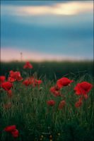 Poppies Serene by marius-ilie