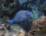 Surgeonfish - Goulding Cay 2 by Lauren-Lee