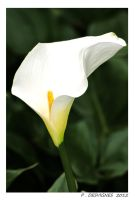 arum lily by bracketting94