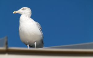 Perched Seagull by JeanLuc761