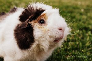 guinea pig by natural-beauty13