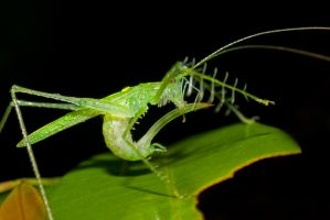 Weird Katydid 2 by melvynyeo