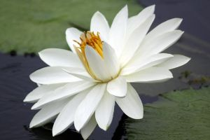 White Water Lily 5 by CASPER1830