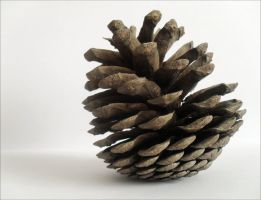 pine cone of Croatia by Vrbize
