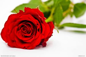 Red rose by zmax78