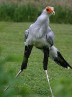 Secretarybird I by Parides
