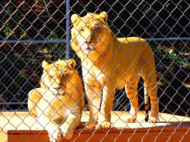 Ligers by moth-eatn-photos