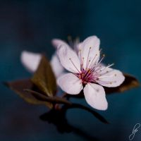 Hanami by OK-Photography