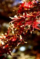 Japanese Maple Leaves by Mocca-Coffee