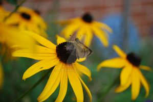 Butterfly on Blackeyed Susan 2 by Chalax91