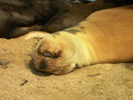 Galapagos Sea Lion by Serendith