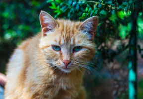 Crimean cat by Mushrushu