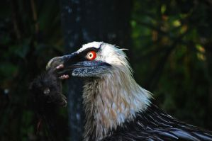 bearded vulture by driesio