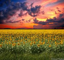 Sunflower Sunset by JosephTimbury