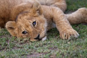Lion Cub - 144 by eight-eight