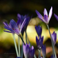 Fall.is.for.Crocus by charliesmyangel