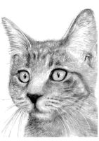Cat Pencil Drawing by slippy88