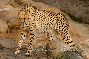 Cheetah by thephotographicgenus