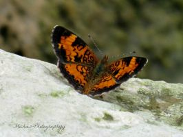 Pearl Crescent by Michies-Photographyy