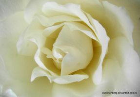 purity of the white rose by babsartcreations