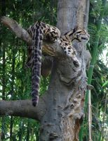 Clouded Leopard IV by AprilDHallPhoto