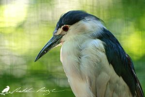 Night heron during the day by PhotoDragonBird