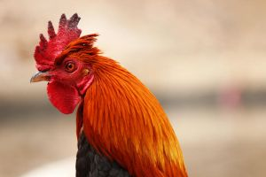 Rooster by BoutABoy