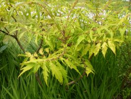 Rhus at County College, Lancaster University by SrTw