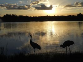 Sandhill Cranes enjoying the sunset with us by knighttemplar1