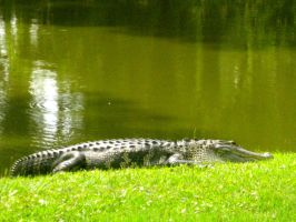 Alligator by absoluteandrew