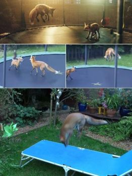 Foxes jumping on a trampoline by MarceloRenard2