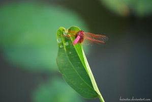 Pink Dragonfly by baineteo