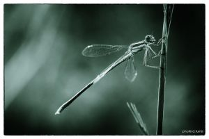 Dragonfly noir 2 by rebelblues