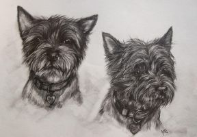 Two cairn terrier dogs by Jniq