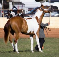 STOCK - 2014 Youngstock-78 by fillyrox