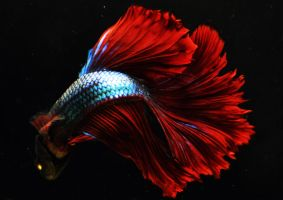 Green Flame Dragon OHM Betta male by HappyBettas