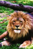the zion lion by justinaversano