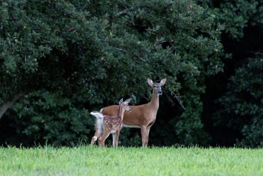 doe and fawn by JoshuaPhoto