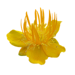 Yellow Flower 2 PNG by da-joint-stock