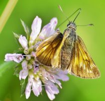 Butterfly by thdf