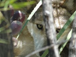 LD August 14: Mexican Wolf 28 by FamilyCanidae